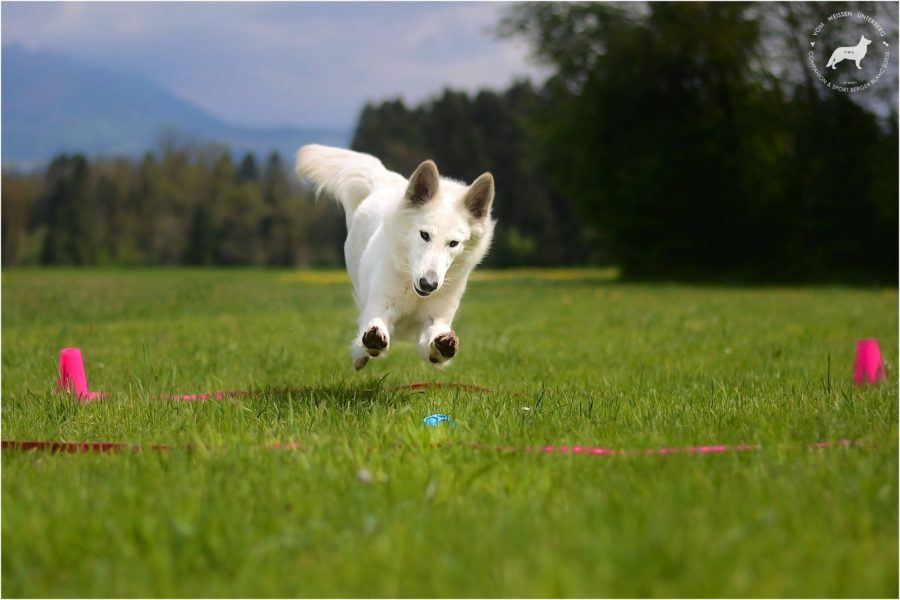 Alfa at International Obedience competition in Italy