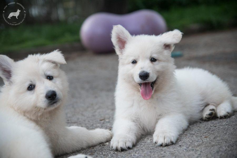 EE puppies: Volhard test