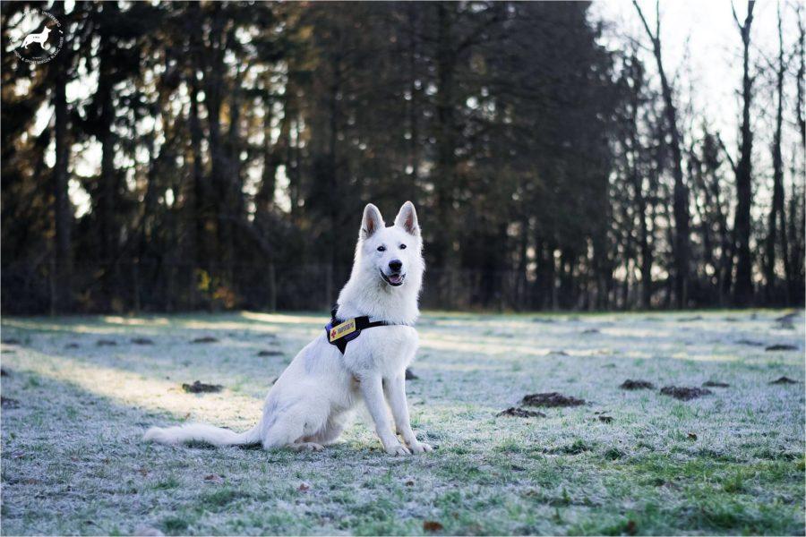 Quantum kot 2. Švicarski beli ovčar v Sloveniji postal terapevtski pes