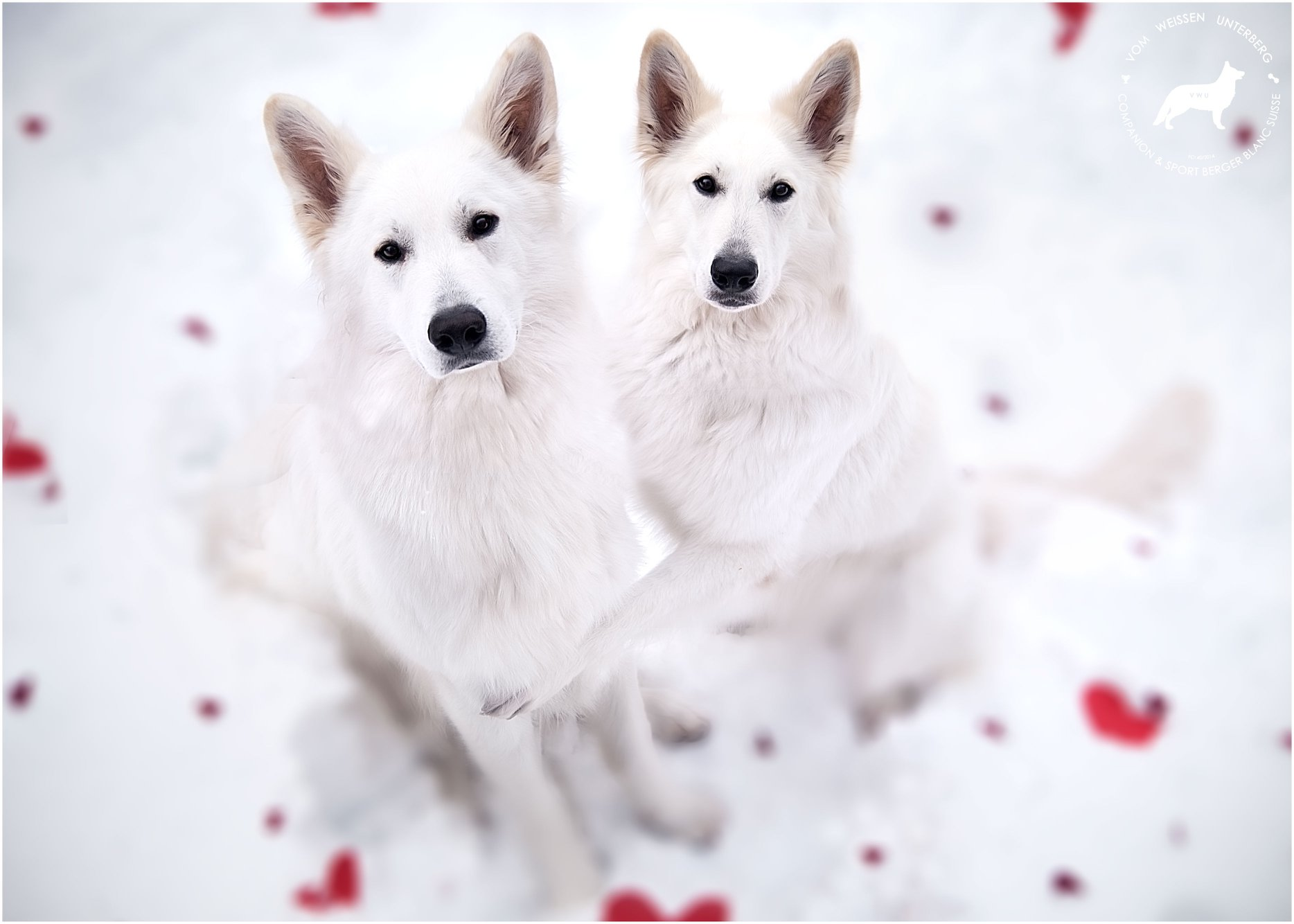 Pregnancy confirmed! Puppies expected on Valentine's day <3