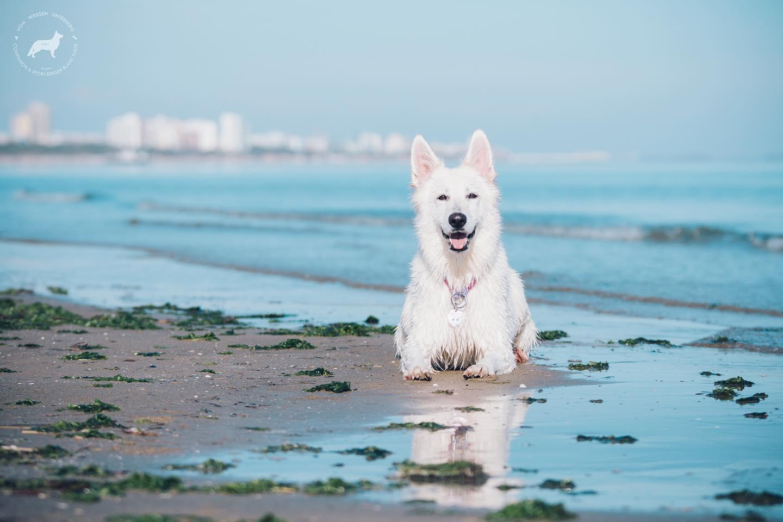 Švicarski beli ovčar je vsestransko uporaben pes